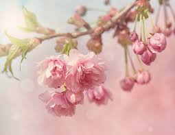 pink cherry blossom tree royalty free stock images image 30605799