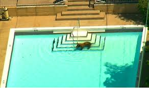 pool hopping black bear creates a buzz near los angeles