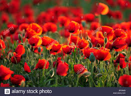 poppies flowers flowers stock photos flowers stock images alamy