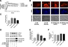 Flag Tag In Vivo Pancreatic β Cell U2013specific Expression Of Antiaging Gene