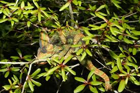 non native plants in florida chameleons everglades cisma