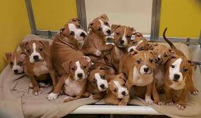 boxer dog breeders near me my local animal shelter just got in a litter of boxer puppies imgur