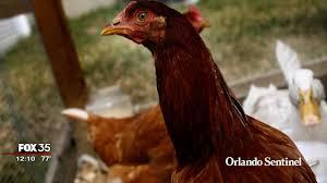 orange hatches plan for backyard chickens orlando sentinel
