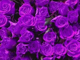 purple roses purple clipart wallpaper pencil and in color purple