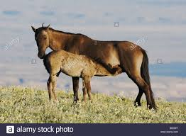 mustang horse mustang horse equus caballus mare and colt nursing pryor mountain