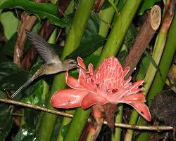 Hummingbird Plant Ornithophily Wikipedia