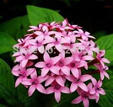 pentas flower pentas lanceolata flower seeds 50pcs starry flowers seeds purify