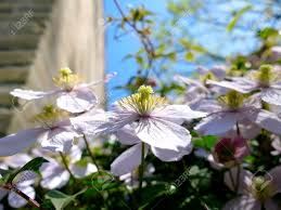 clematis montana climbing plant with many pink flowers on a sunny