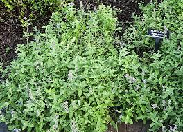 Catnip Flower - how to grow catnip herb gardening guide