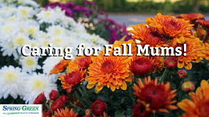 Picture Of Mums The Flowers - late season bloomers how to take care of fall mums