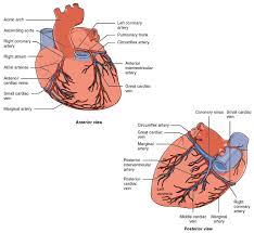 19 1 heart anatomy medicine libretexts