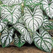 caladium caladium reviews seedratings