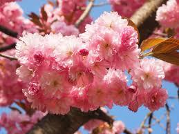 Flowering Cherry Shrub - free images tree branch fruit flower petal bloom food