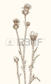 old styled vector thistle freehand drawing royalty free cliparts