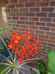 jatropha podagrica buddha plant identify plants
