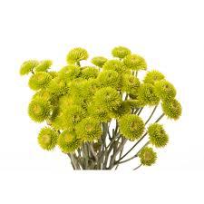 mums flower green kermit chrysanthemums mums chrysanthemums types of