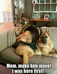 Funny German Shepherd Memes - image result for funny german shepherd memes pastor alem磧n