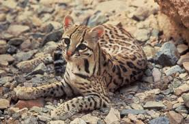 Arizona wildlife images Ocelots in arizona high country news
