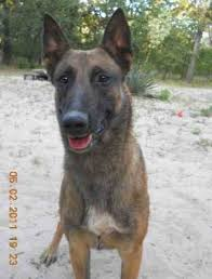belgian sheepdog forum question about belgian malinois page 2 german shepherd dog forums