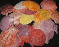Assorted Seashells Assorted Seashells Etsy
