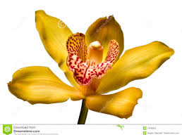 yellow orchid yellow orchid stock photo image of nature orchid stame 13036632