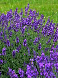 Fragrant Flowers Perennial Fragrant