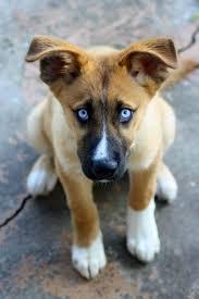 australian shepherd husky puppy best 25 boxer husky mix ideas only on pinterest pitbull boxer