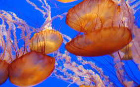 beautiful animals safaris beautiful dangerous jellyfish animal