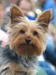 teacup yorkie haircuts pictures 50 damn cute yorkie haircuts for your puppy hairstylec