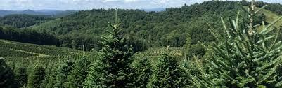 natural cut christmas trees