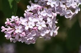 purple lilac blossoms picture free photograph photos public domain