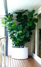 houseplants that need little light tall indoor plants picture of large leaf house plants tall indoor