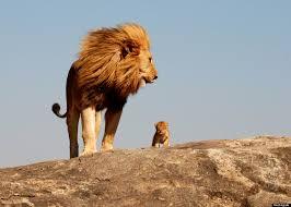 lion king u0027s u0027simba u0027 u0027mufasa u0027 photo