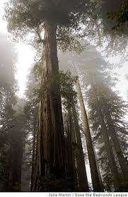 the location of the world s tallest tree is a big secret news