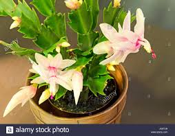 pink white schlumbergera cactus or thanksgiving cactus