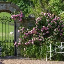 Fragrant Climbing Plant - most fragrant climbing roses david austin roses 8