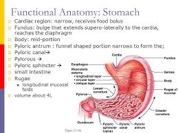 Anatomy Of Stomach And Intestines Gastrointestinal System Ppt Download