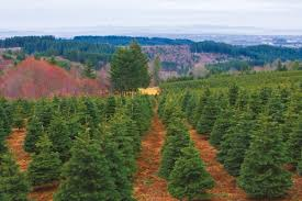 Pacific Northwest Christmas Tree Association - oregon u0027s massive christmas tree industry gets ready for a record