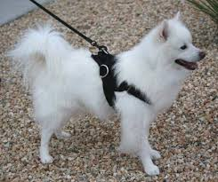 american eskimo dog lab mix purchase now american eskimo dog training supplies