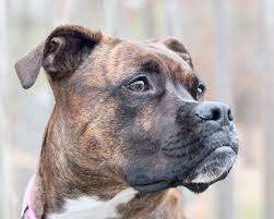 determine dog breed brindle coloring cuteness