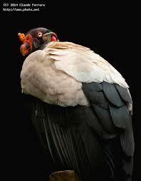 Seeking Vulture King Vulture