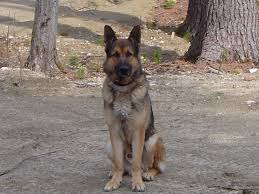 belgian malinois markings belgian malinois german shepherds for sale