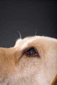Blind Dog Eye Discharge Reasons Why A Dog U0027s Eye Would Sink In Cuteness