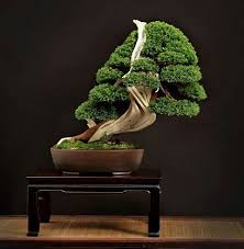 464 best bonsai trees images on bonsai trees plants