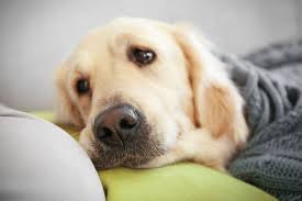 Causes Of Sudden Blindness In Dogs Drug Ivermectin Poisoning In Dogs Symptoms Causes Diagnosis