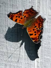 butterfly with shadow photograph by david t wilkinson