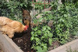 how to chicken proof your garden modern farmer