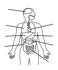 Outline The Anatomy And Physiology Of The Human Body Pictures Of Body Organs Free Download Clip Art Free Clip Art