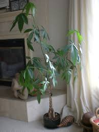 what u0027s a money tree asian lifestyle design