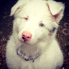 australian shepherd 2 noses lethal white aussie double merle when 2 merles are bred this